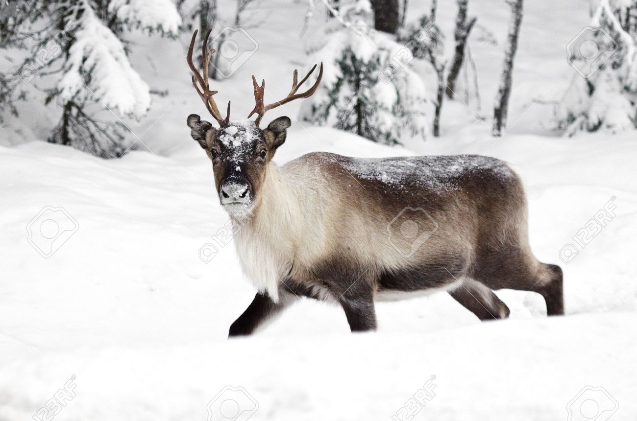 a scandinavian reindeer in its natural environment Stock Photo - 11772911