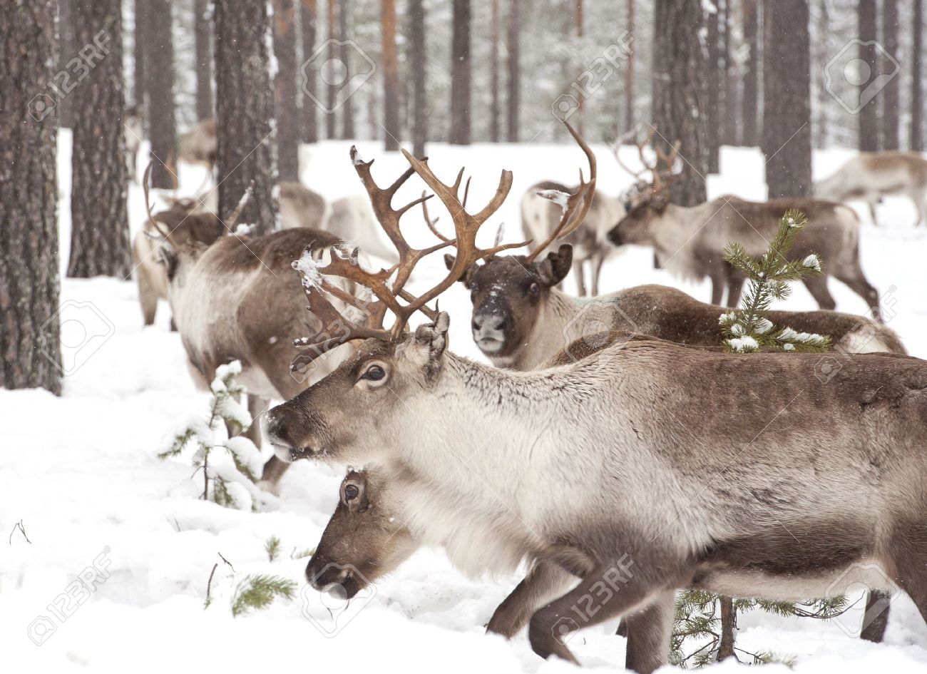 reindeer in its natural winter habitat in the north of Sweden Stock Photo - 12970103