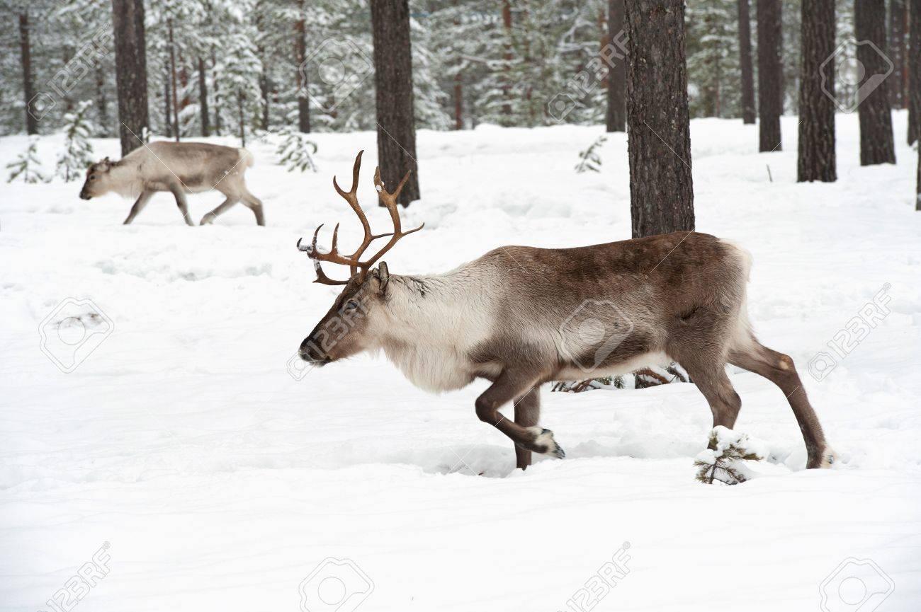 reindeer in its natural winter habitat in the north of Sweden Stock Photo - 12970110