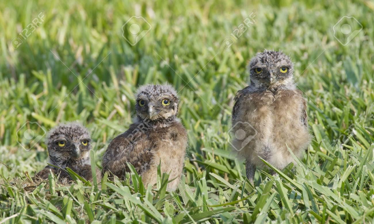 Búho De Madriguera Atenea Cunicularia Tres Búhos Bebés En La
