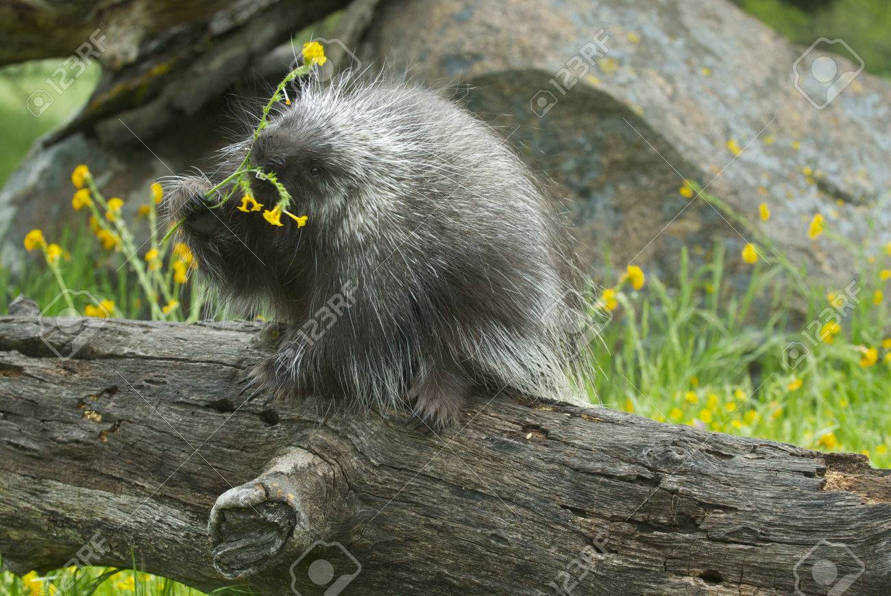 Porcupine eating on log with background of tall grass and yellow porcupine eating on log with background of tall grass and yellow flowers stock photo 78569983 mightylinksfo