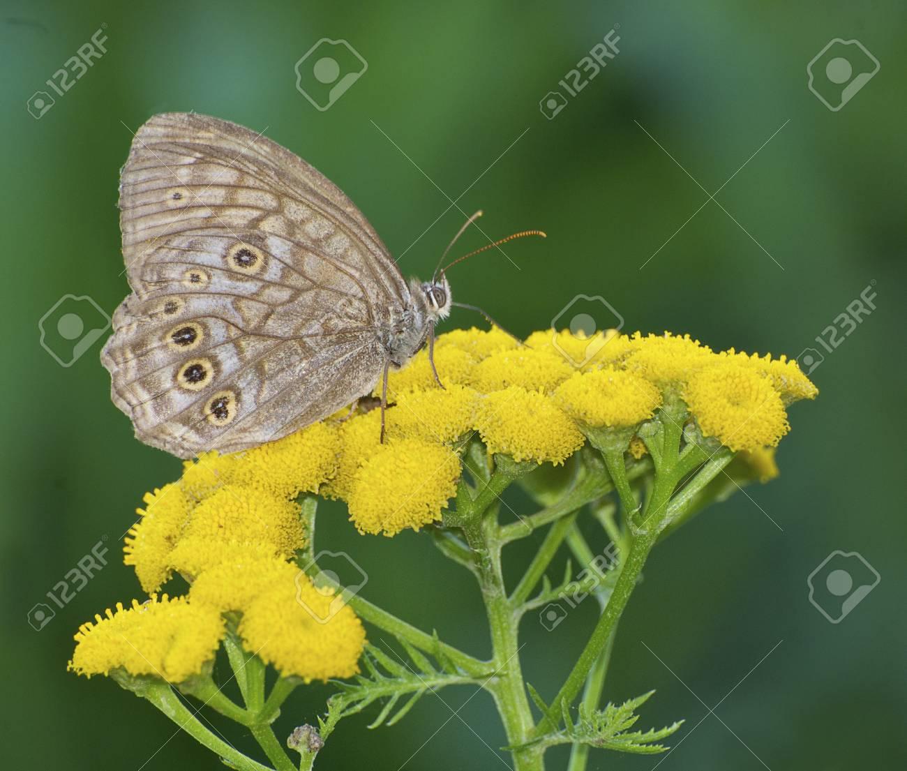 Fiori Gialli Foto.Immagini Stock Farfalla Di Brown Sui Fiori Gialli Con La