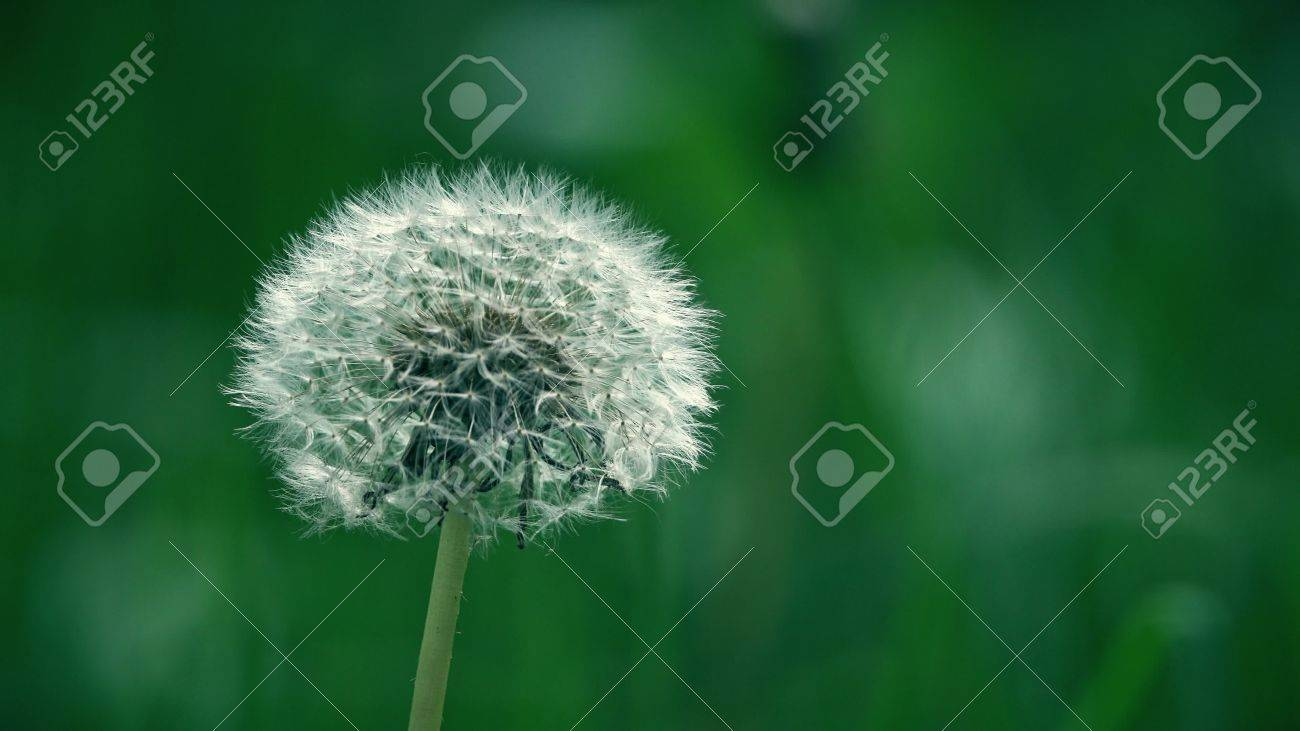 White dandelion flower seed head telephoto lens close up shot stock stock photo white dandelion flower seed head telephoto lens close up shot mightylinksfo