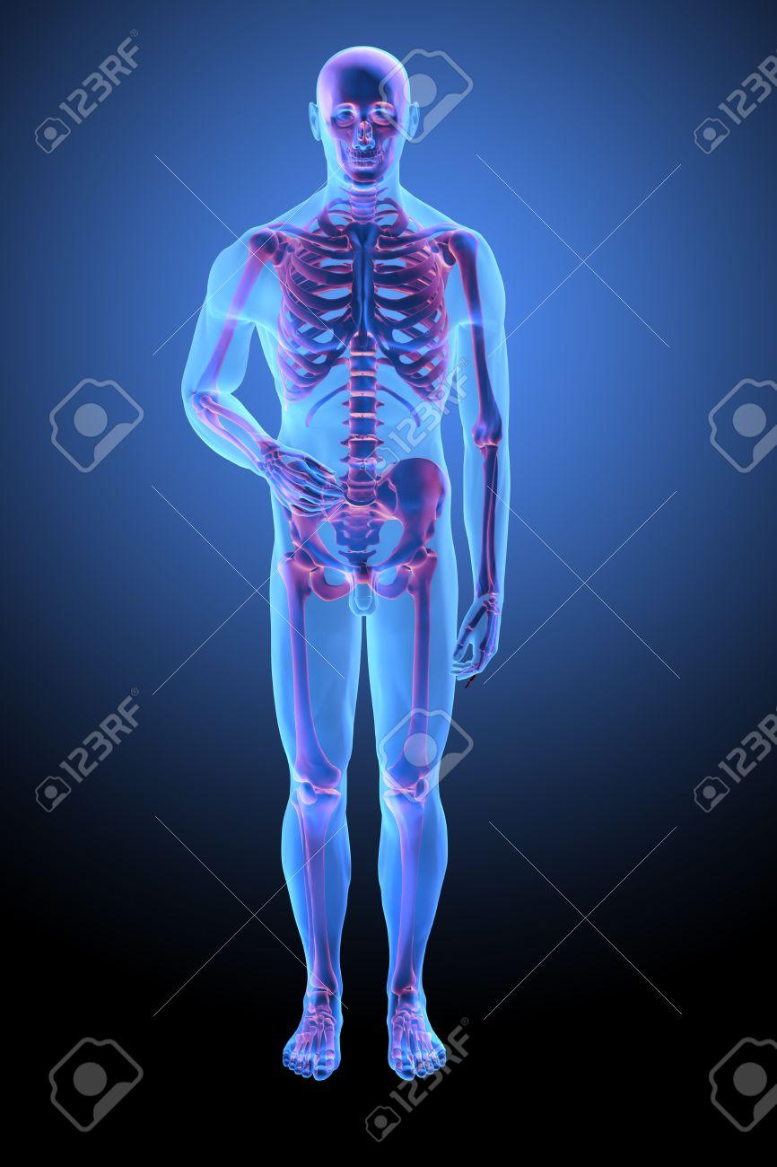 Anatomía Humana Con Visible Esqueleto - Medical Illustration Fotos ...