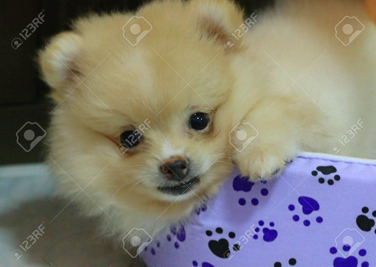 犬は家で可愛いポメラニアンの白