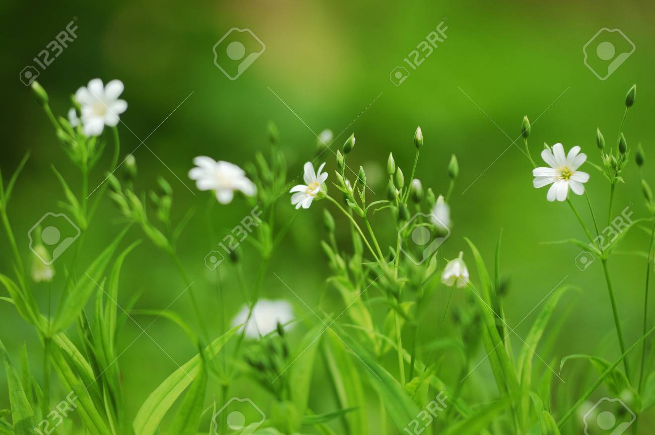 Spring Grass Background With White Flowers In Blur Focus Stock Photo