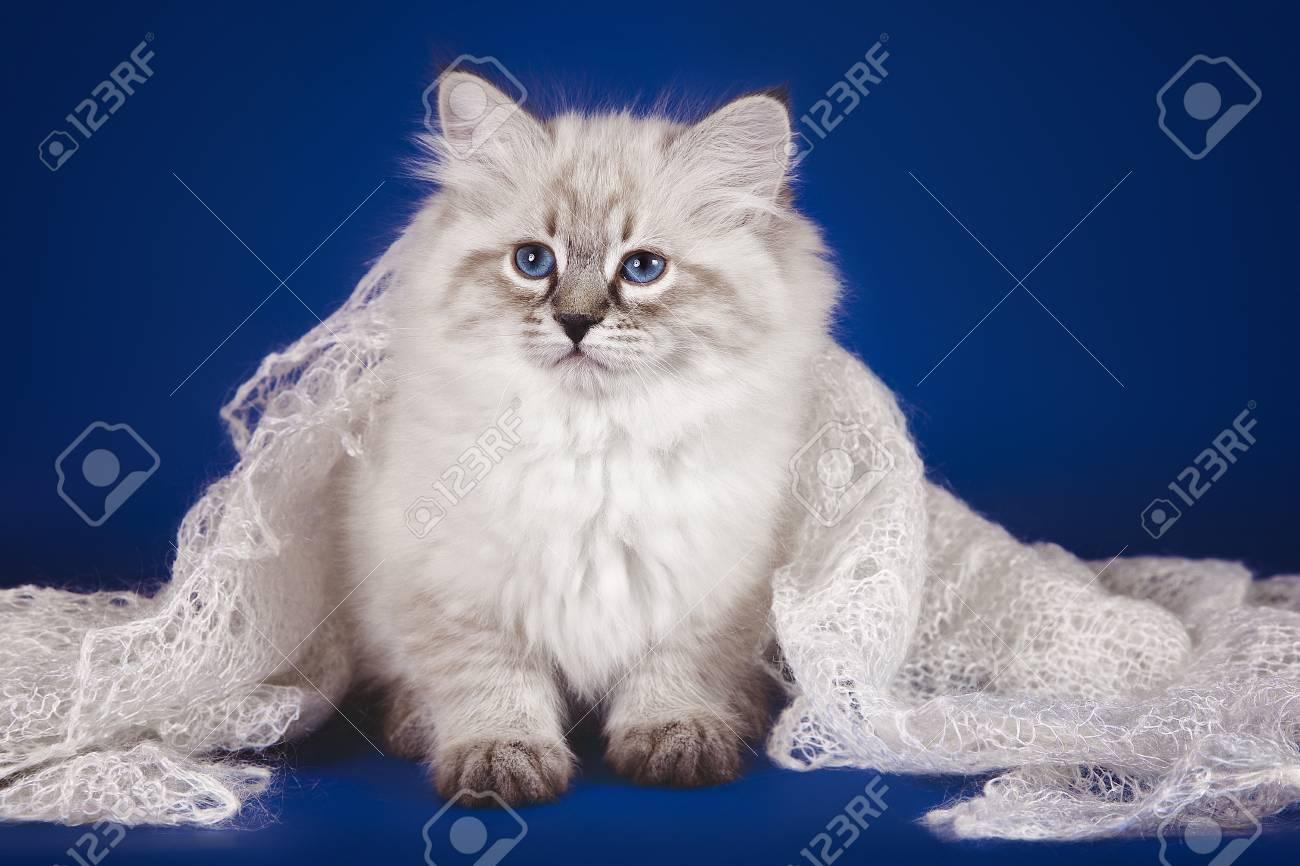 4392a71b6b Fluffy Beautiful White Kitten Of Neva Masquerade With Blue Eyes ...