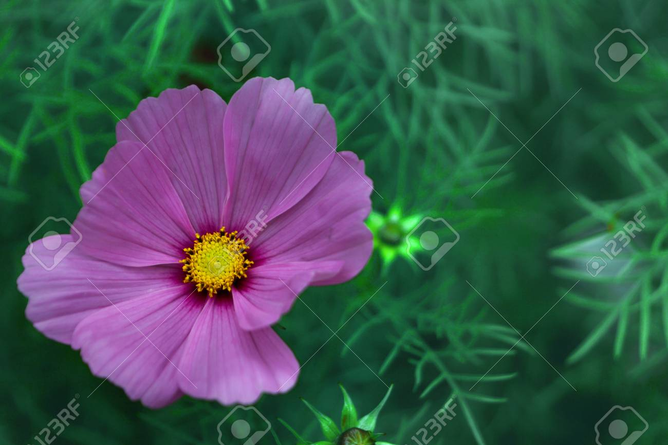 Pink Cosmos Flower With Yellow Center On A Green Background In