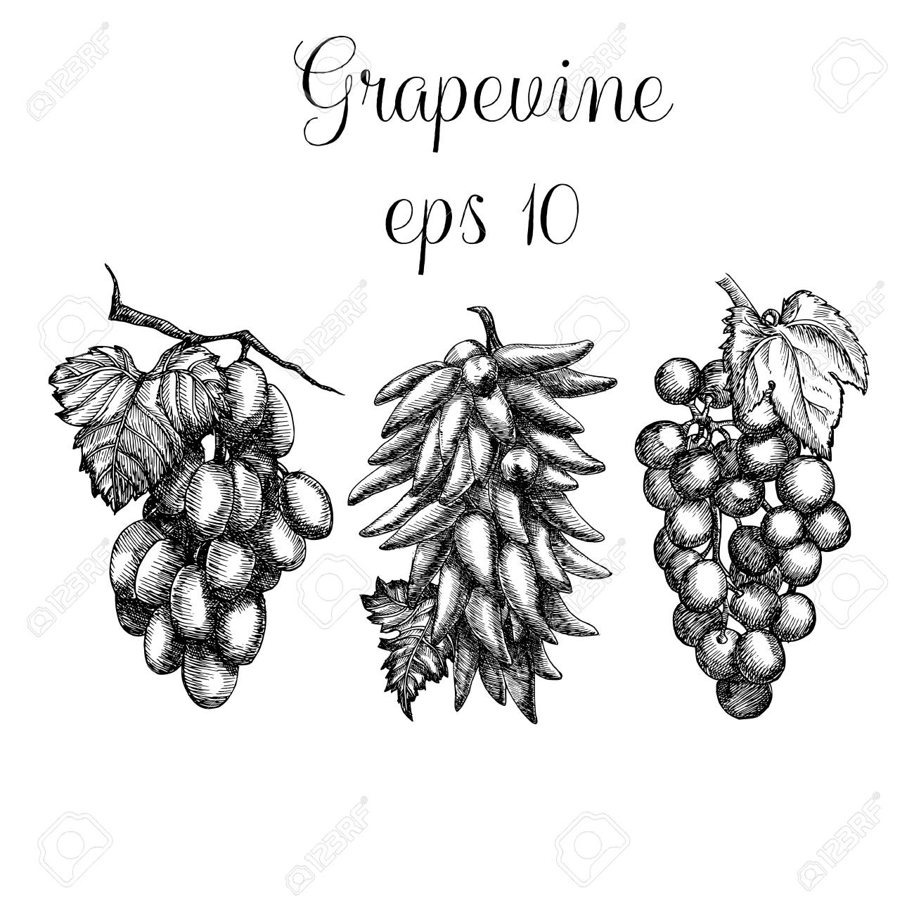 Hand Drawn Grapevine Royalty Free Cliparts, Vectors, And Stock ...
