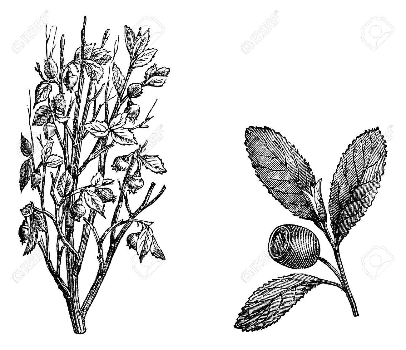 Cranberry branch, Fig.58. Cranberry Fruit, vintage engraved illustration. Magasin Pittoresque 1875. Stock Vector - 13770202