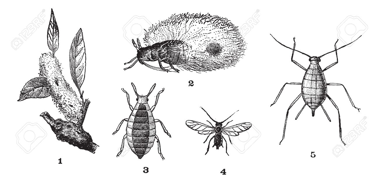 Aphids or plant lice or greenflies or blackflies or whiteflies, 1. Woolly adelgid. 2. Woolly adelgid. 3. Root aphid. 4. Rose aphid (male). 5. Rose aphid (female), vintage engraved illustration. Dictionary of words and things - Larive and Fleury - 1895. Stock Vector - 13767155