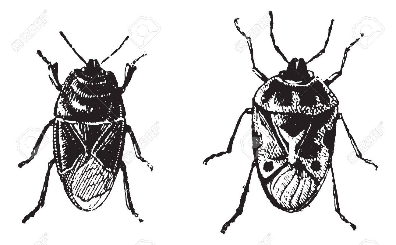 Black bug, Orne Bug,  vintage engraved illustration. Dictionary of words and things - Larive and Fleury - 1895. Stock Vector - 13766324