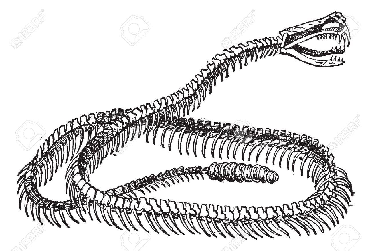 Reptil, Serpiente De Cascabel Esqueleto, Cosecha Ilustración Grabada ...