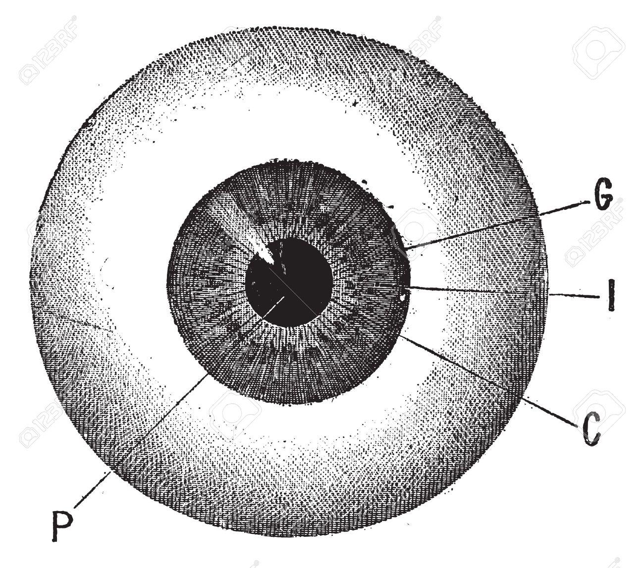 Iris, Jahrgang Gravierte Darstellung. Menschliche Auge. Wörterbuch ...