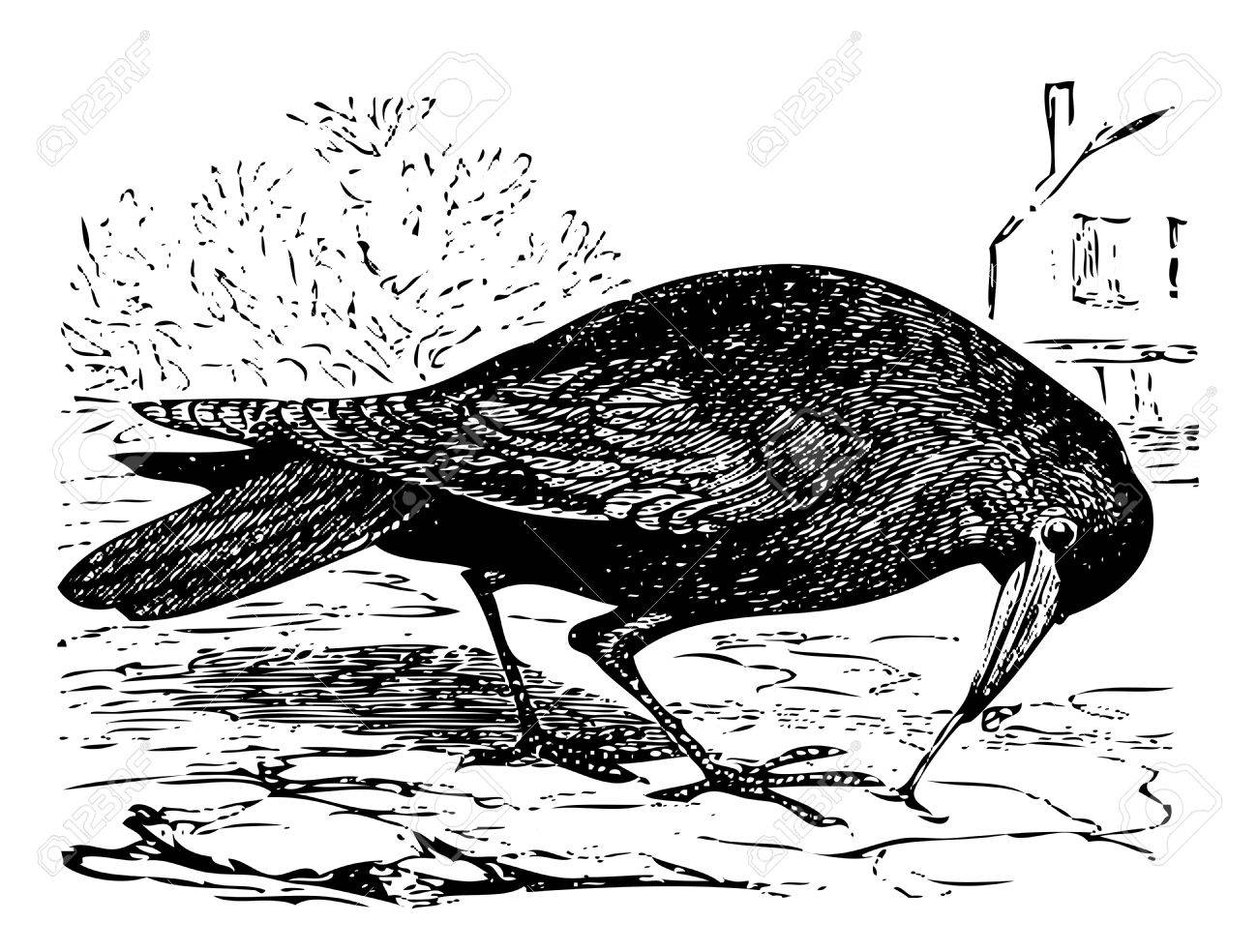 Old engraved illustration of a rook bird, or Corvus frugilegus, isolated on white. Live traced. From the Trousset encyclopedia, Paris 1886 - 1891. Stock Vector - 13770103