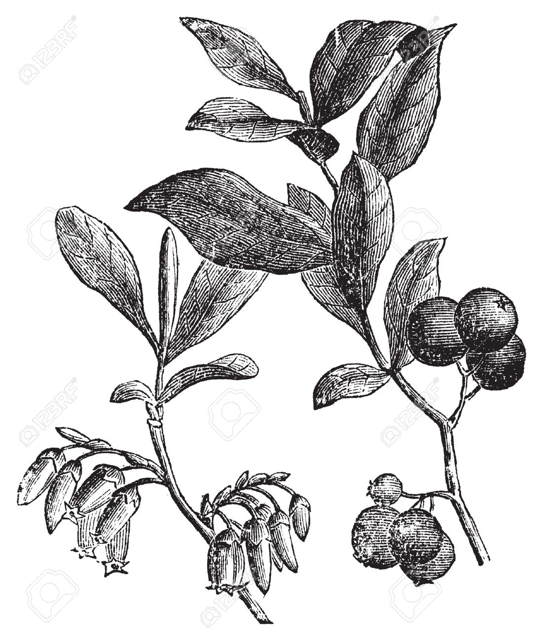 Huckleberry or Gaylussacia resinosa engravin. Old vintage engraved illustration of huckleberry plant. The huckleberry is the state fruit of Idaho. Stock Vector - 13770823