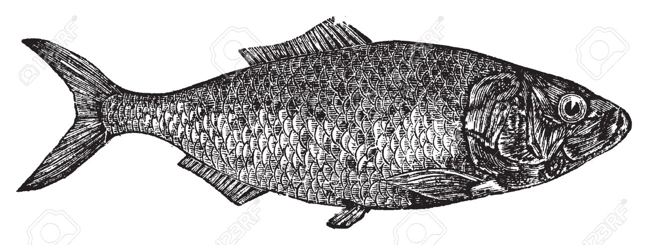 Shad, river herring  or Alosa menhaden vintage engraving.. Old engraved illustration of a shad fish, in vector, isolated against a white background. Stock Vector - 13770619