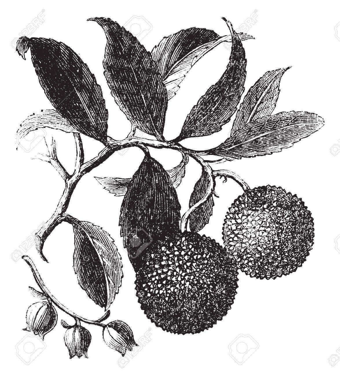 Strawberry tree or madrono or arbutus unedo vintage engraving strawberry tree or madrono or arbutus unedo vintage engraving old engraved illustration of a altavistaventures Image collections