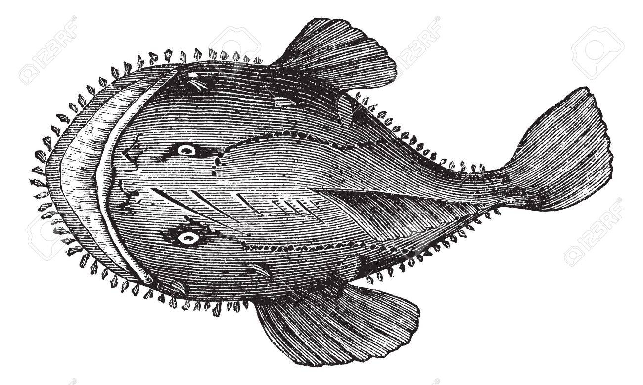 The American anglerfish, Goosefish, All-mouth, Fishing frog or Lophius americanus. Vintage engraving. Old engraved illustration of an American anglerfish found in the eastern coast of North America. Stock Vector - 13770325