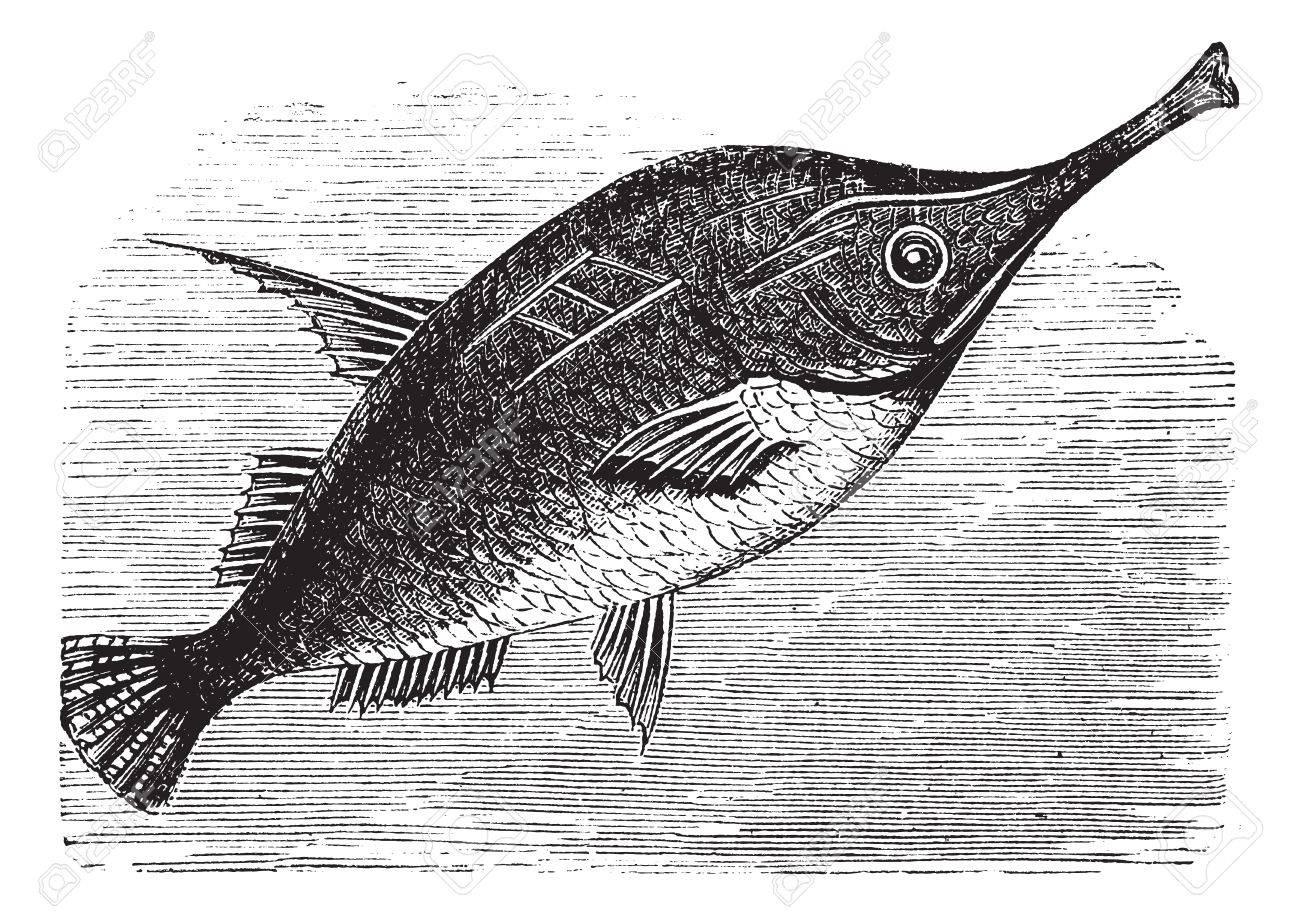 Longspine Snipefish or Bellowfish or Spine Trumpetfish or Macroramphosus scolopax, vintage engraving. Old engraved illustration of Longspine Snipefish. Stock Vector - 13770875