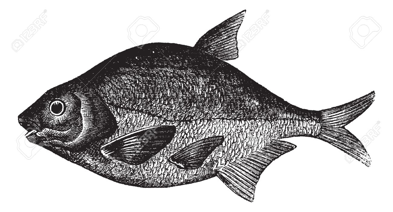 Freshwater fish bream - Common Bream Also Known As Abramis Brama Freshwater Fish Vintage Engraved Illustration Of