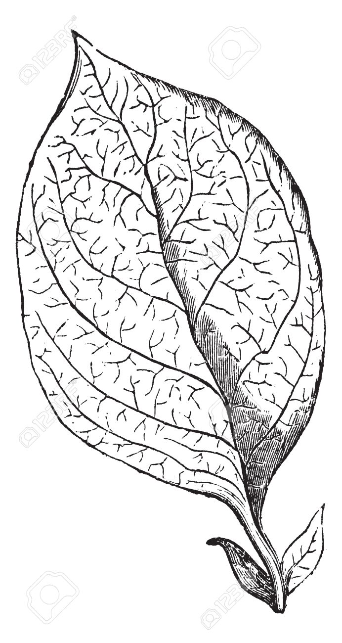 Reticulate-veined Leaf, vintage engraving. Old engraved illustration of a Reticulate-veined Leaf. Stock Vector - 13766744