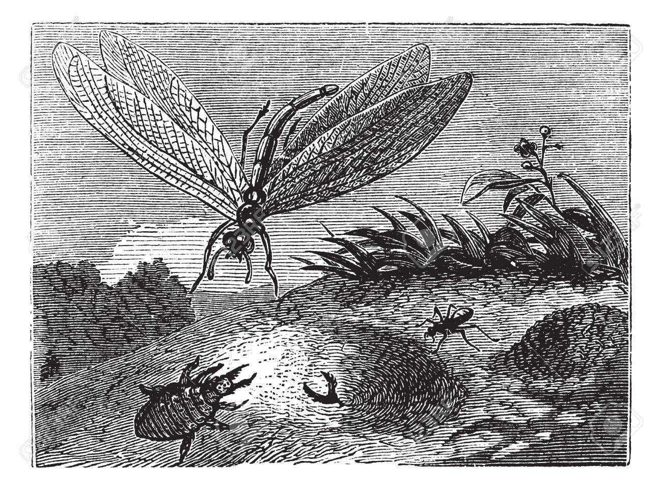 Antlion or Myrmeleontidae, vintage engraving. Old engraved illustration of an Antlion. Stock Vector - 13771544