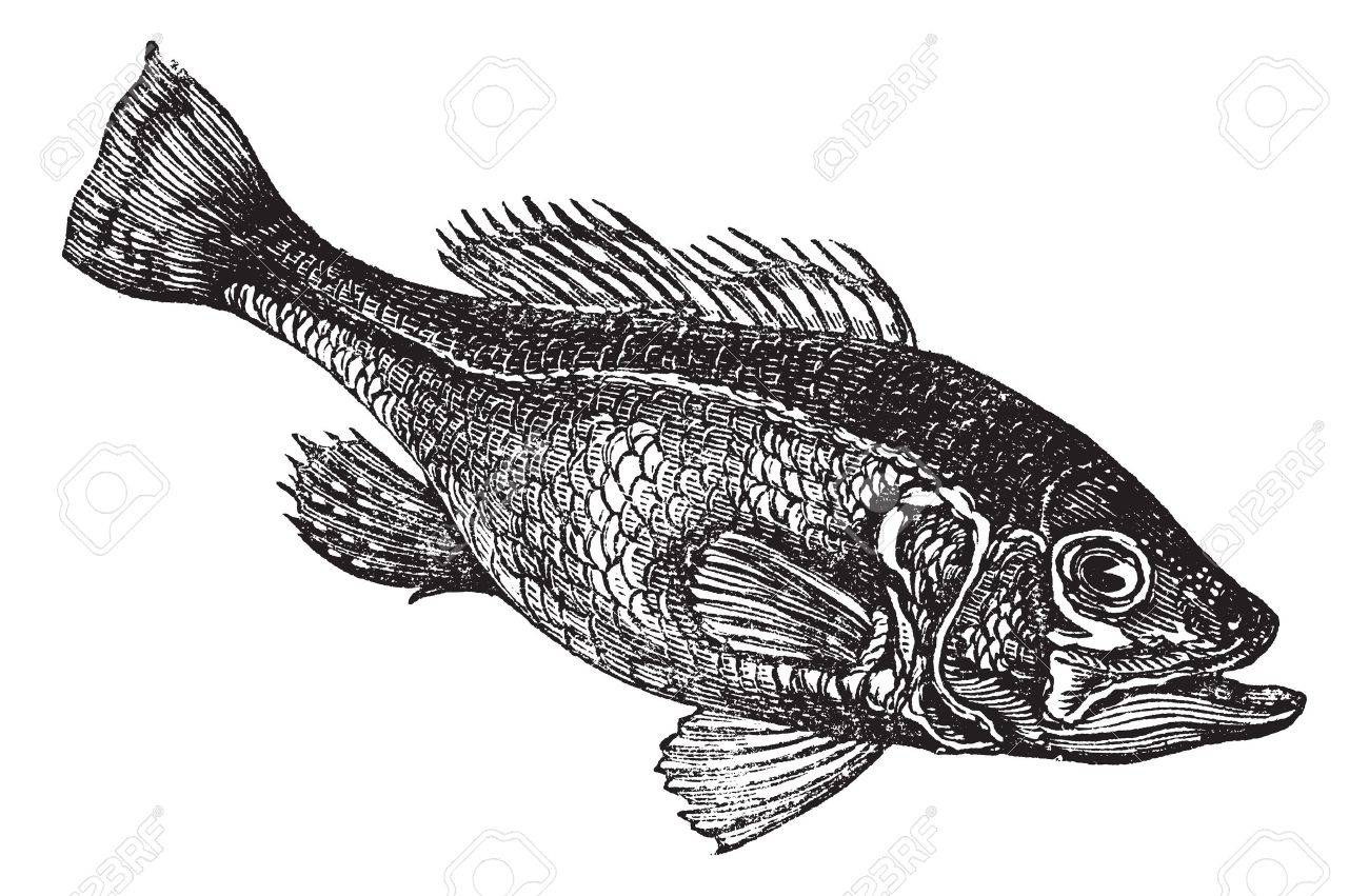 Freshwater fish clipart - Bass Fish Largemouth Bass Micropterus Salmoides Or Widemouth Bass Or Bigmouth Or Black