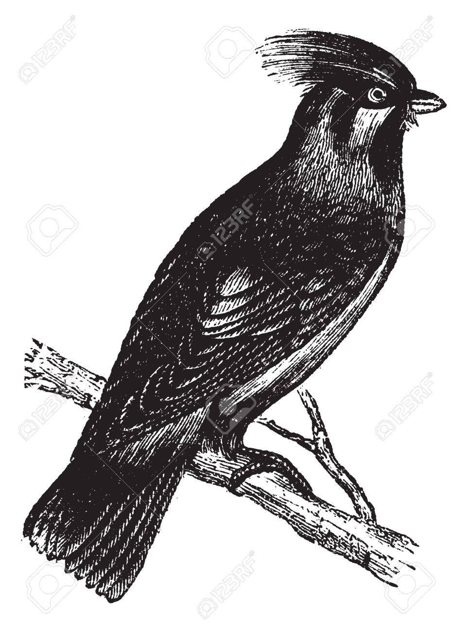 Bohemian Waxwing or Bombycilla garrulus,vintage engraving. Old engraved illustration of Bohemian Waxwing waiting on a branch. Stock Vector - 13767097