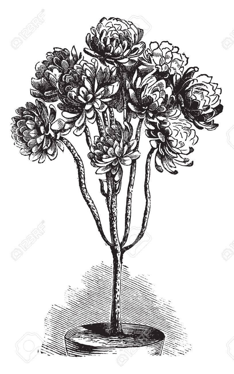 Tree Aeonium or Aeonium arboreum or Aeonium schwarzkopf or Aeonium korneliuslemsii or Sempervivum arboreum, vintage engraving. Old engraved illustration of Tree Aeonium in the flowerpot. Stock Vector - 13770484
