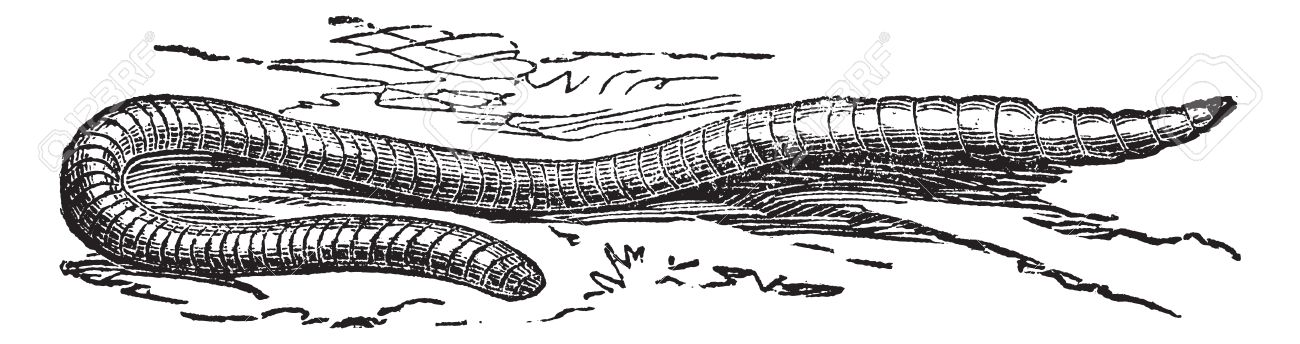 Lumbricus terrestris or Common Earthworm or Vitalis or Dew Worm or Lob Worm, vintage engraving. Old engraved illustration of Lumbricus terrestris. Stock Vector - 13767000