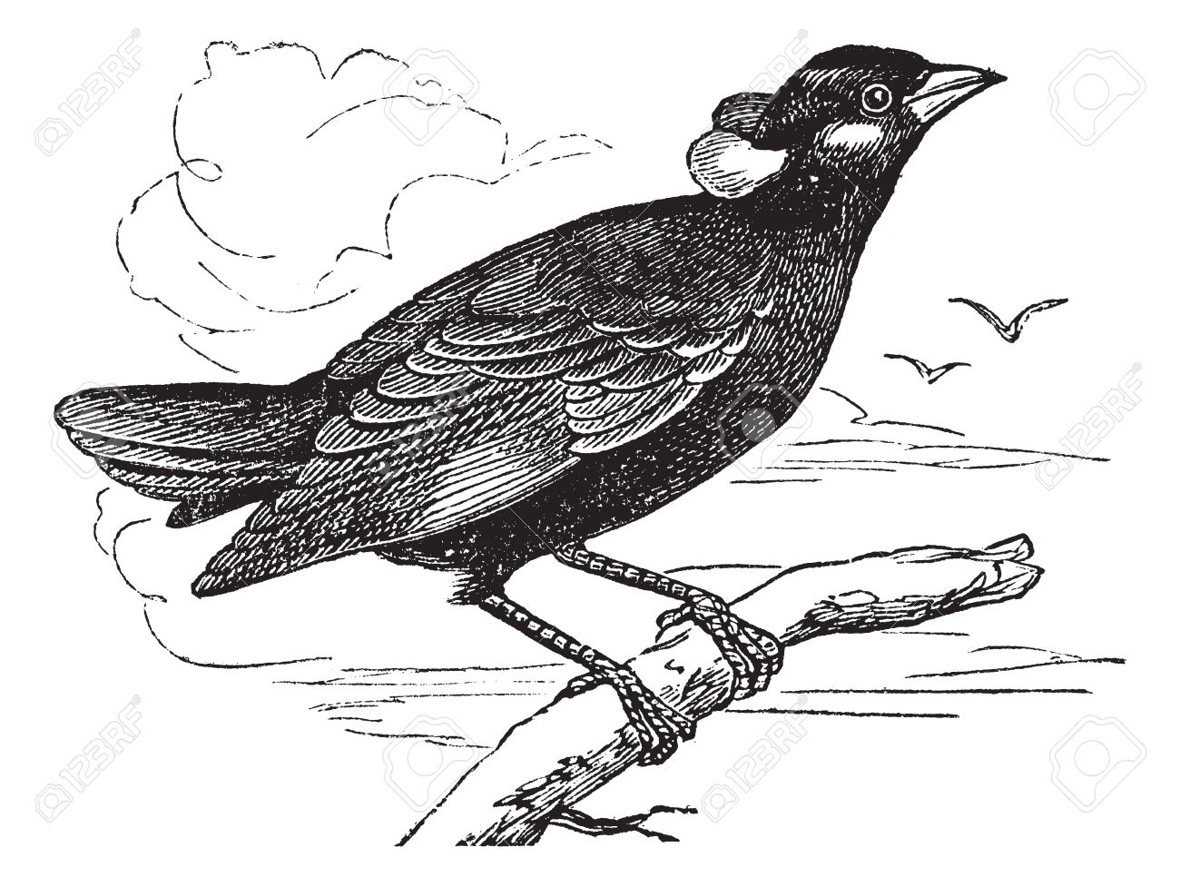 Common Hill Myna or Gracula religiosa or Mynah or Hill Myna, vintage engraving. Old engraved illustration of Common Hill Myna waiting on a branch and two other birds flying in the background. Stock Vector - 13770303