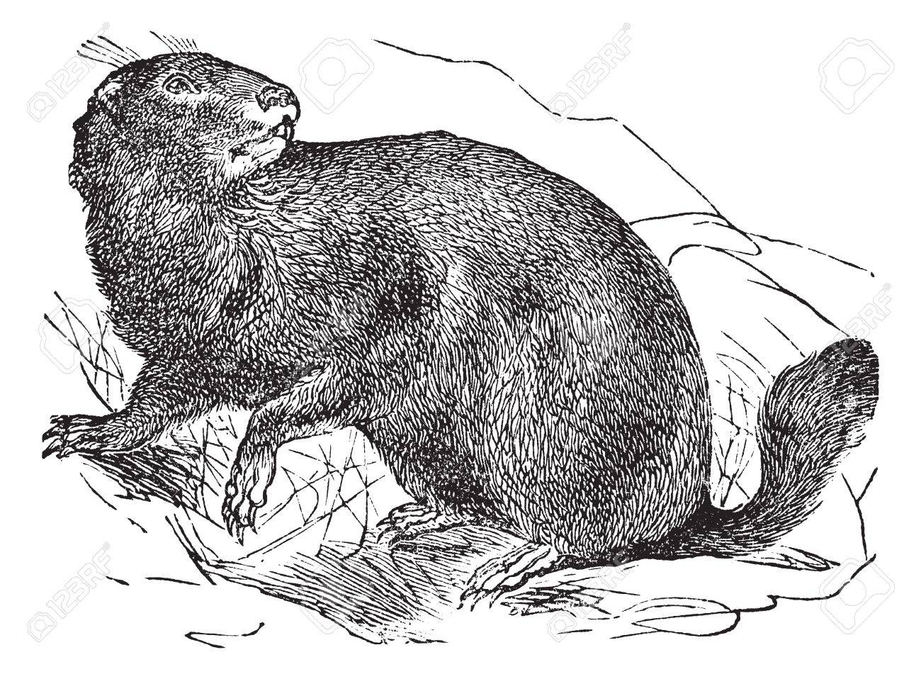 Alpine Marmot or Marmota marmota, vintage engraving. Old engraved illustration of Alpine Marmot in the meadow. Stock Vector - 13771509