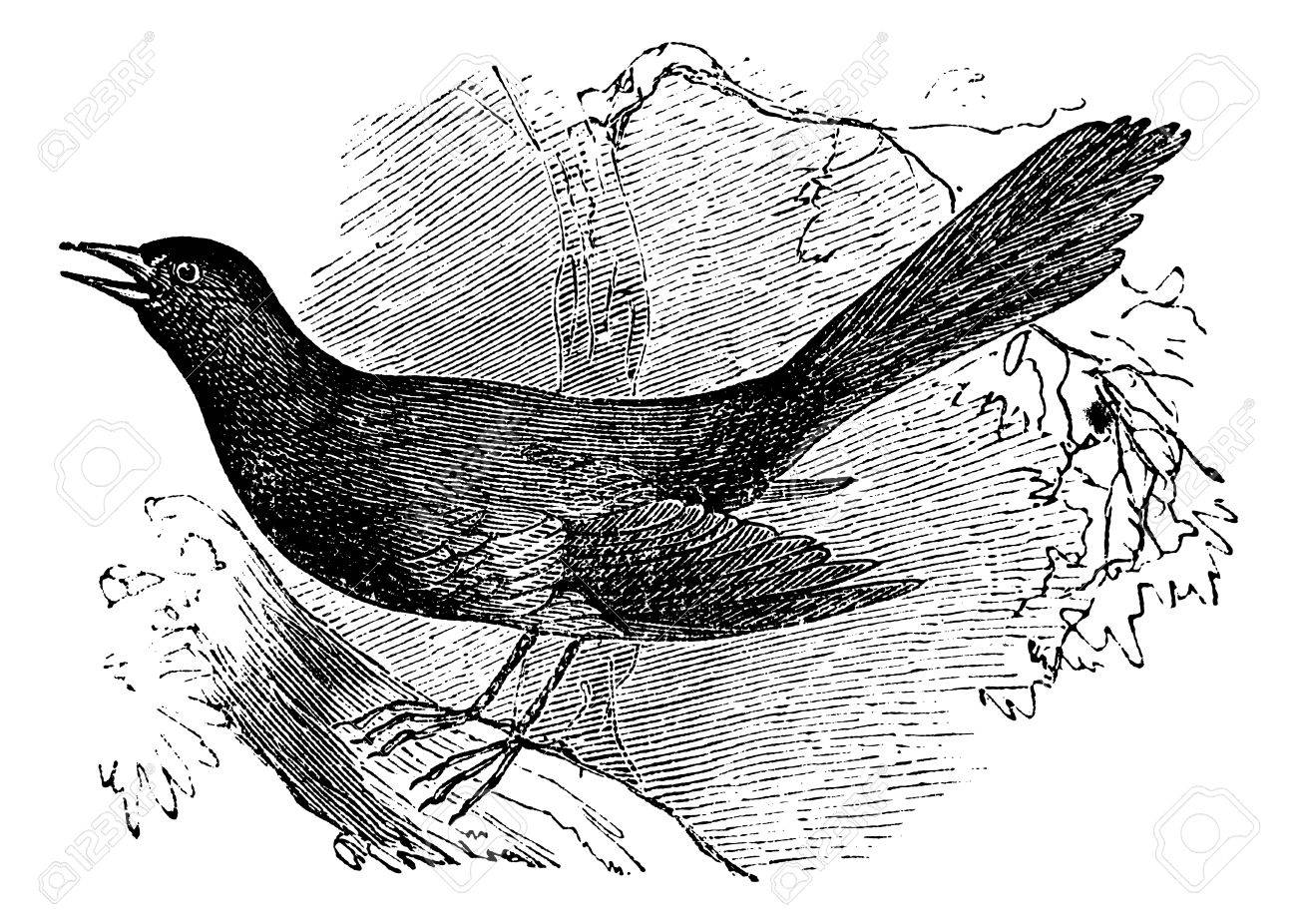 Mocking the carolina (Mimus carolinensis), vintage engraved illustration. Trousset encyclopedia (1886 - 1891). Stock Vector - 13770655