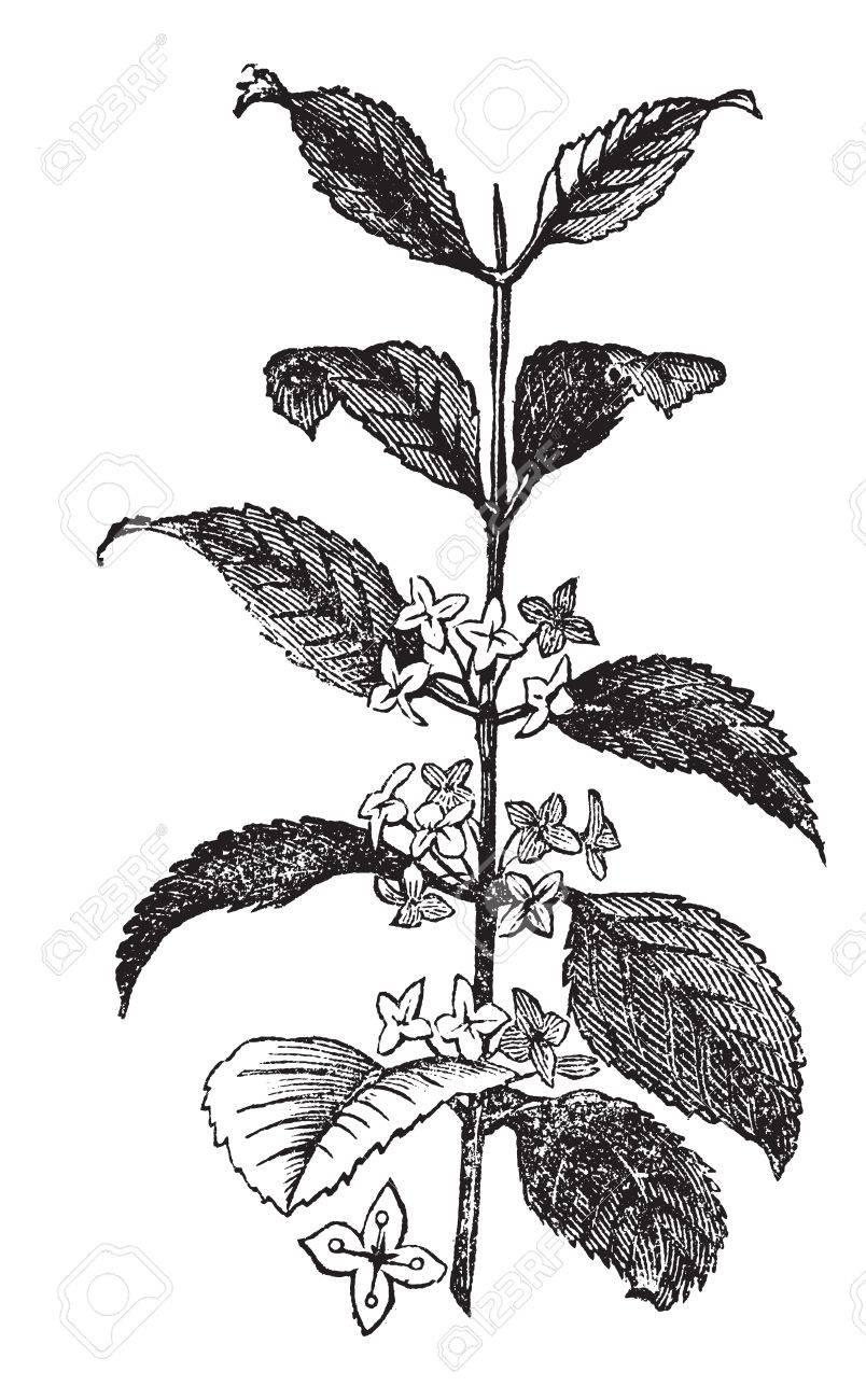 Buckthorn or Rhamnus cathartica, vintage engraved illustration. Trousset encyclopedia (1886 - 1891). Stock Vector - 13770296