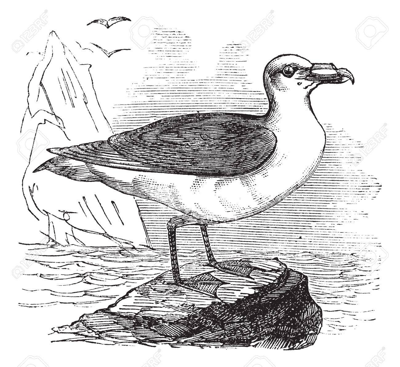 Grey Petrel or Brown Petrel or Pediunker or Grey Shearwater or Procellaria cinerea, vintage engraved illustration. Trousset encyclopedia (1886 - 1891). Stock Vector - 13770801