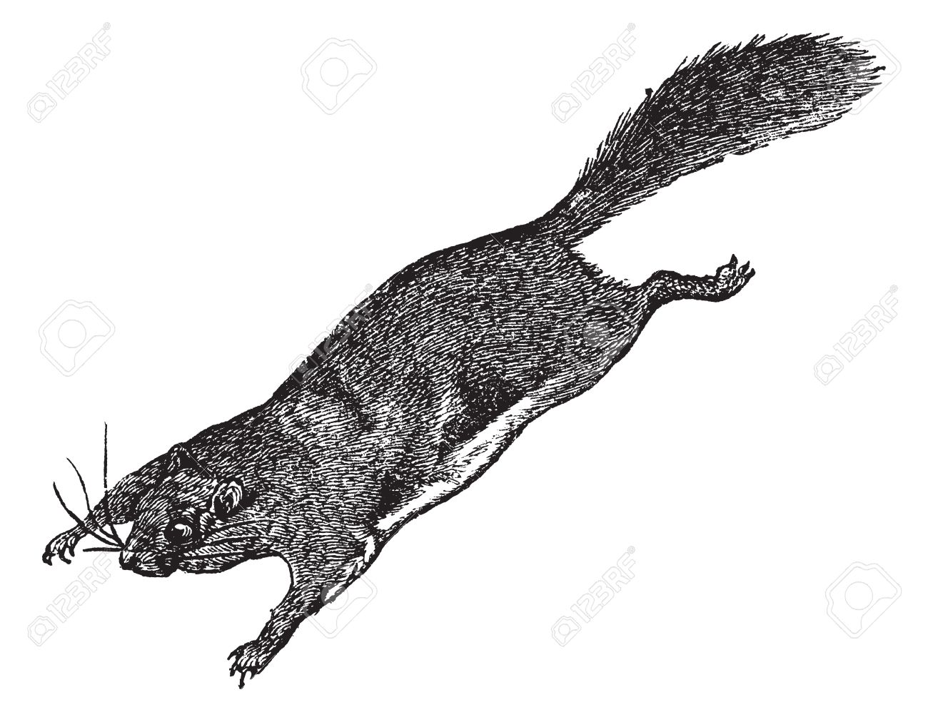132 flying squirrels stock vector illustration and royalty free