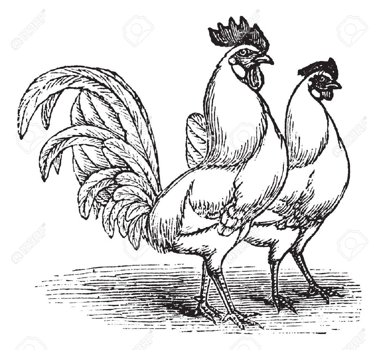 Male and female of White Leghorns (chicken), vintage engraving. Old engraved illustration of Male and female of White Leghorns chicken. Stock Vector - 13766855