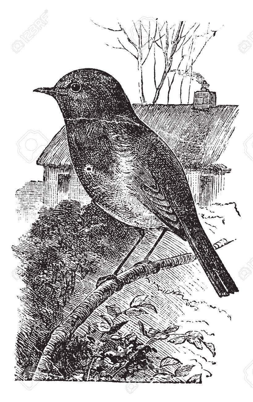 European Robin or Erithacus rubecula or Robin, vintage engraving. Old engraved illustration of European Robin waiting on a branch. Stock Vector - 13771004