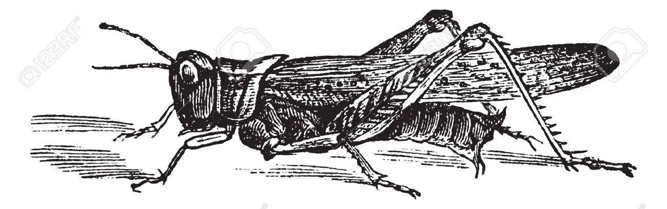 Rocky Mountain Locust or Melanoplus spretus, vintage engraving. Old engraved illustration of Rocky Mountain Locust. Stock Vector - 13766645