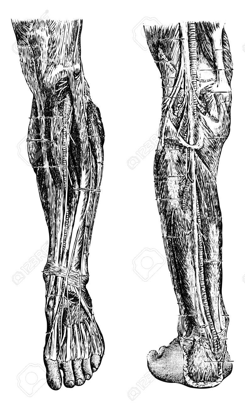 Human Leg, Showing Deep Anterior Region (left), And Deep Posterior ...