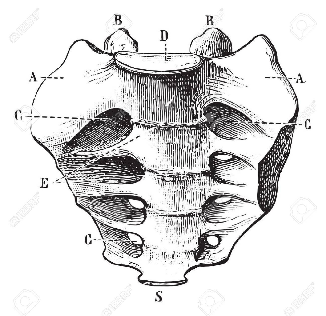 Sacrum Seen By Its Front Face Vintage Engraved Illustration