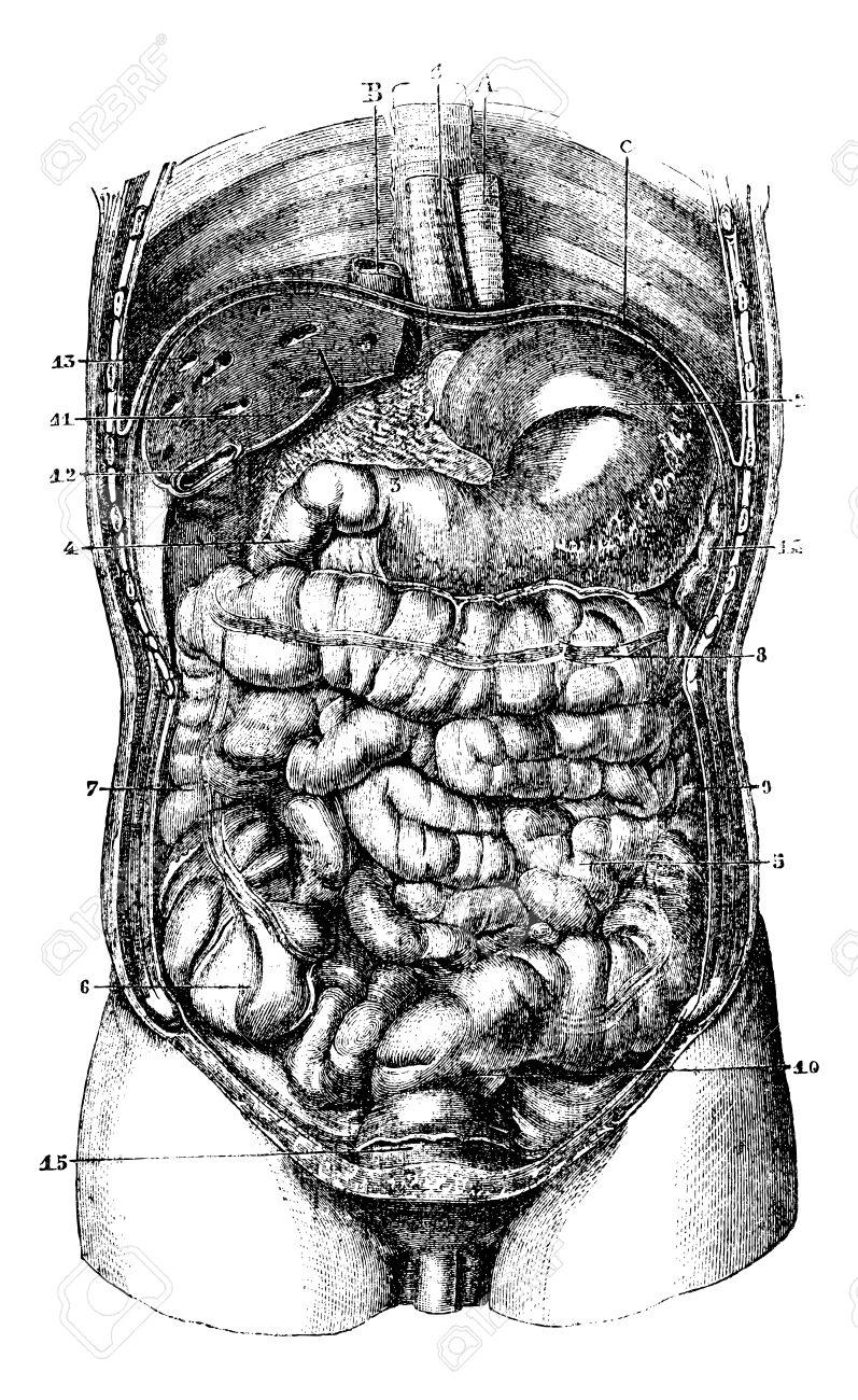 1. Speiseröhre. 2. Magen. 3.Orifice Pyloric Magen. 4. Duodenum. 5 ...