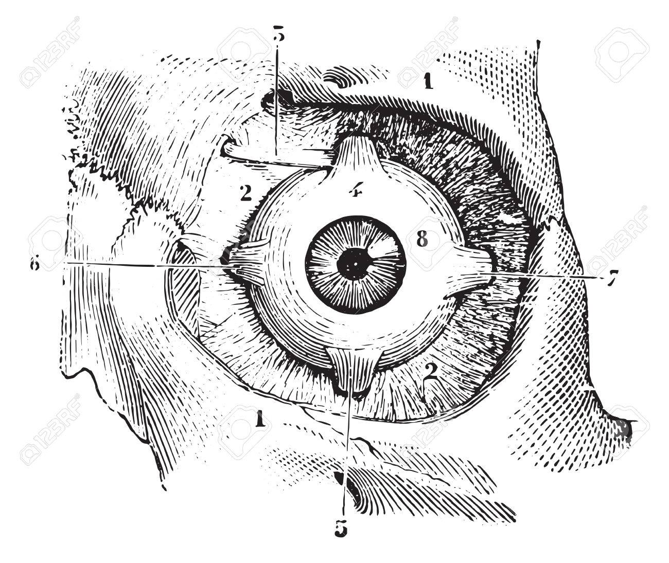 Augenmuskeln Und Faszien Orbitofrontalen Palpebra Auge, Jahrgang ...