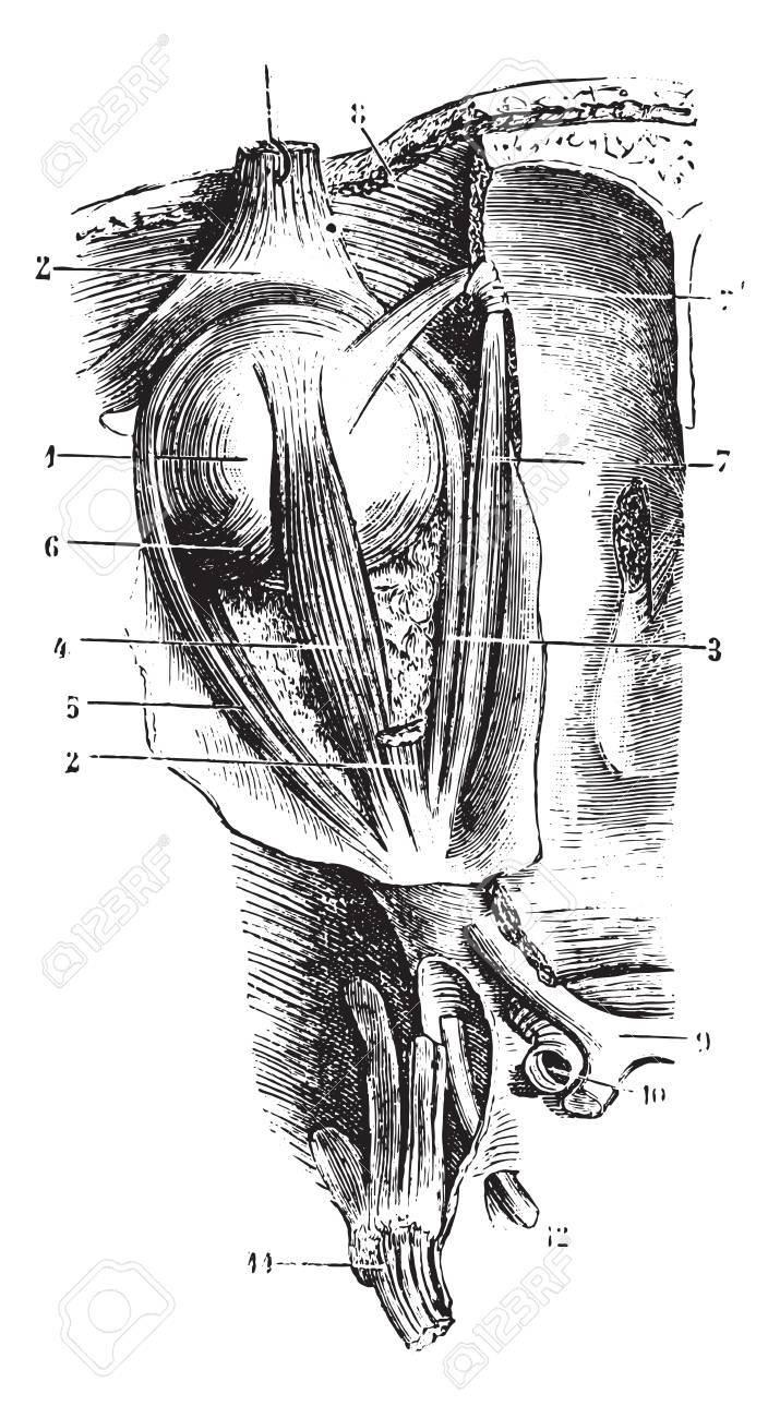 Augenmuskeln, Jahrgang Gravierte Darstellung. Übliche Medizin ...