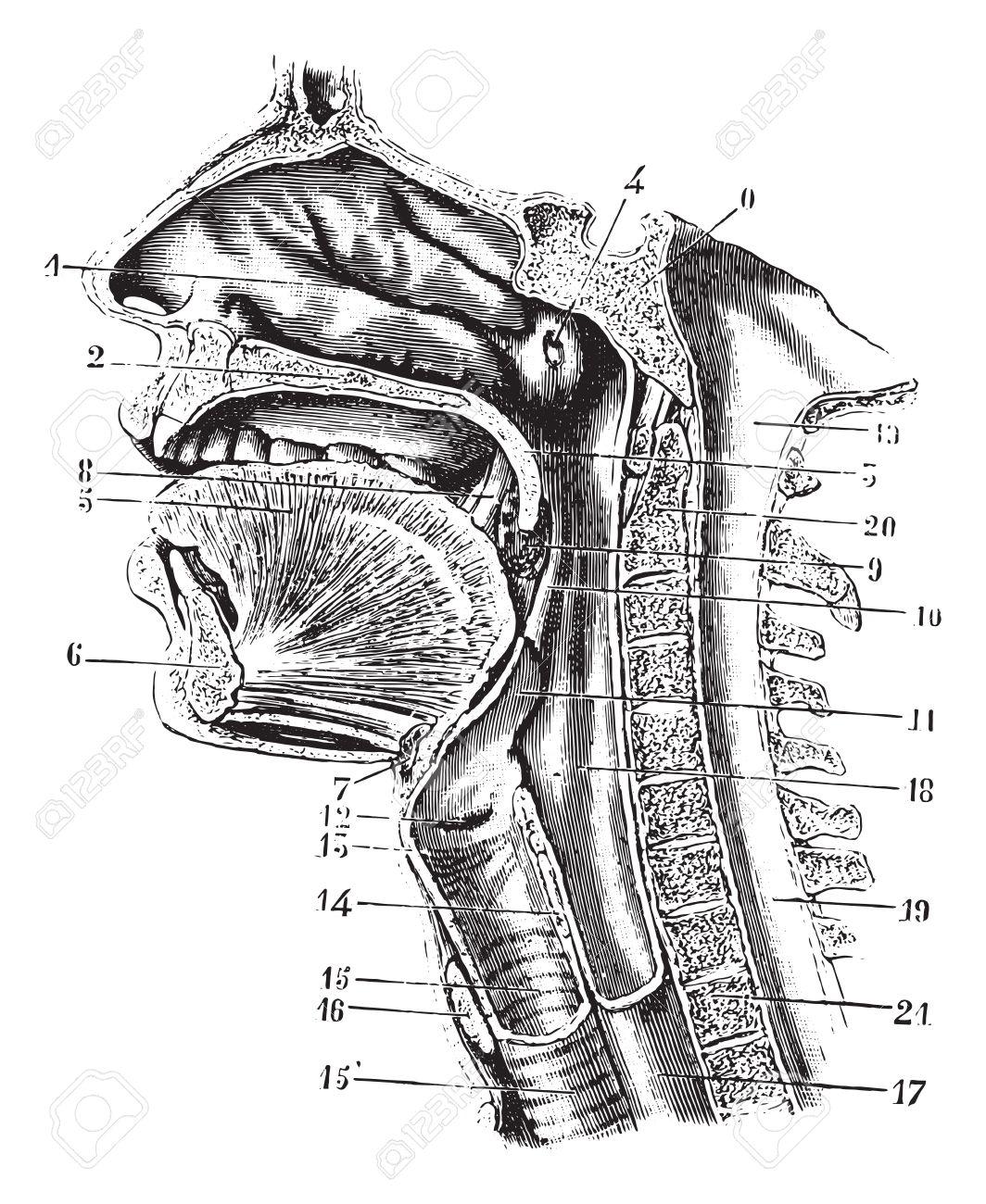 Nett Anatomie Der Mundhöhle Und Des Rachens Zeitgenössisch ...