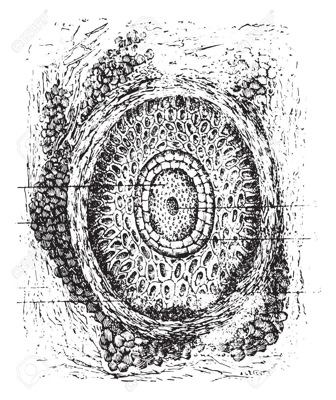 Section of a cilium and its hair follicles, vintage engraved illustration. Usual Medicine Dictionary by Dr Labarthe - 1885. - 35464440