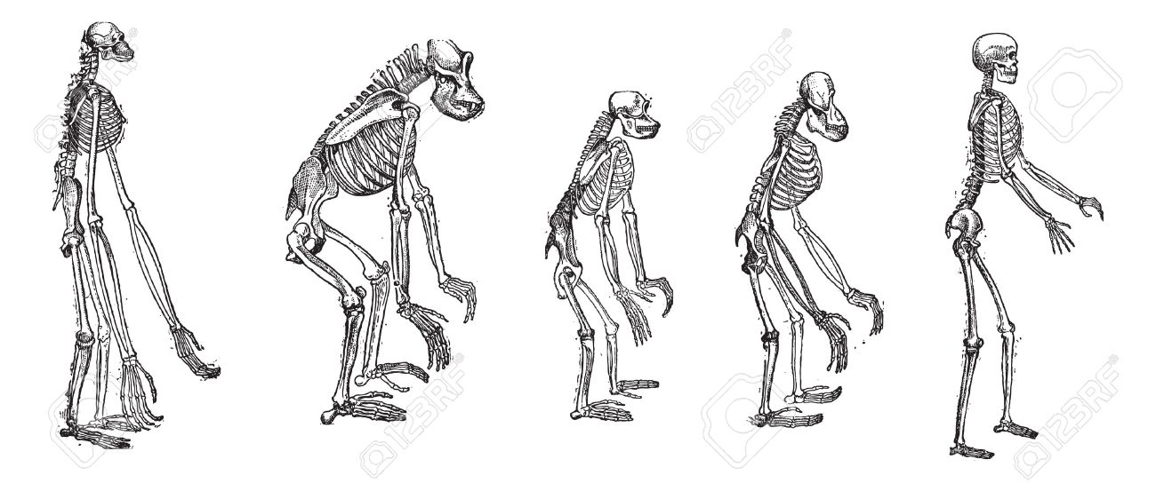old engraved illustration of the comparison of greatest apes, Skeleton