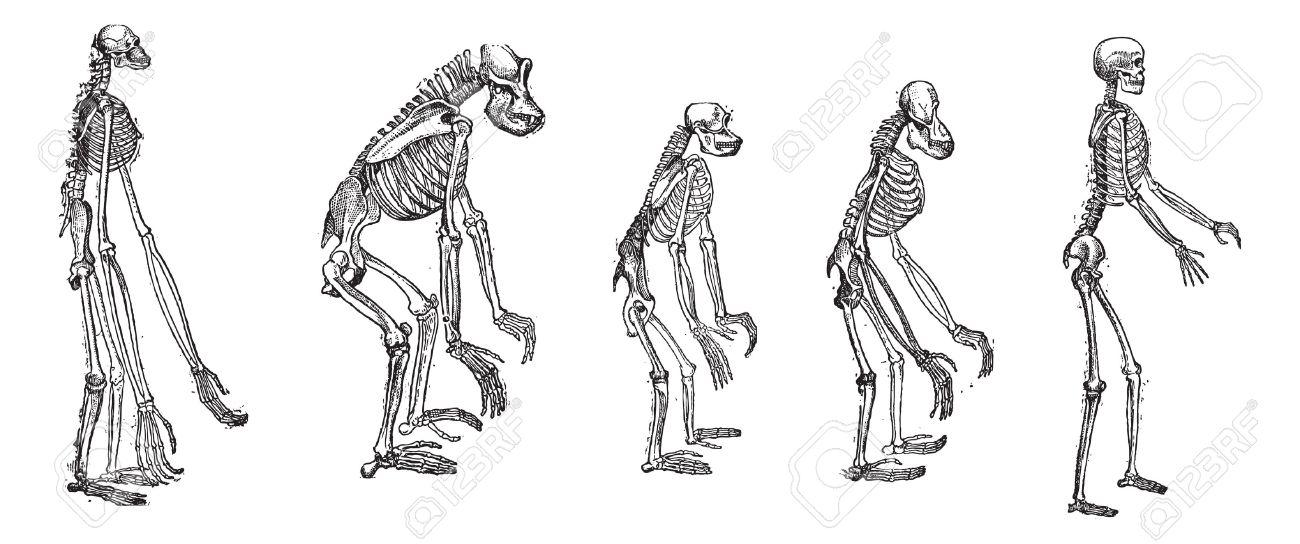 Alt Eingraviert Darstellung Des Vergleichs Der Größten Affen Skelett ...