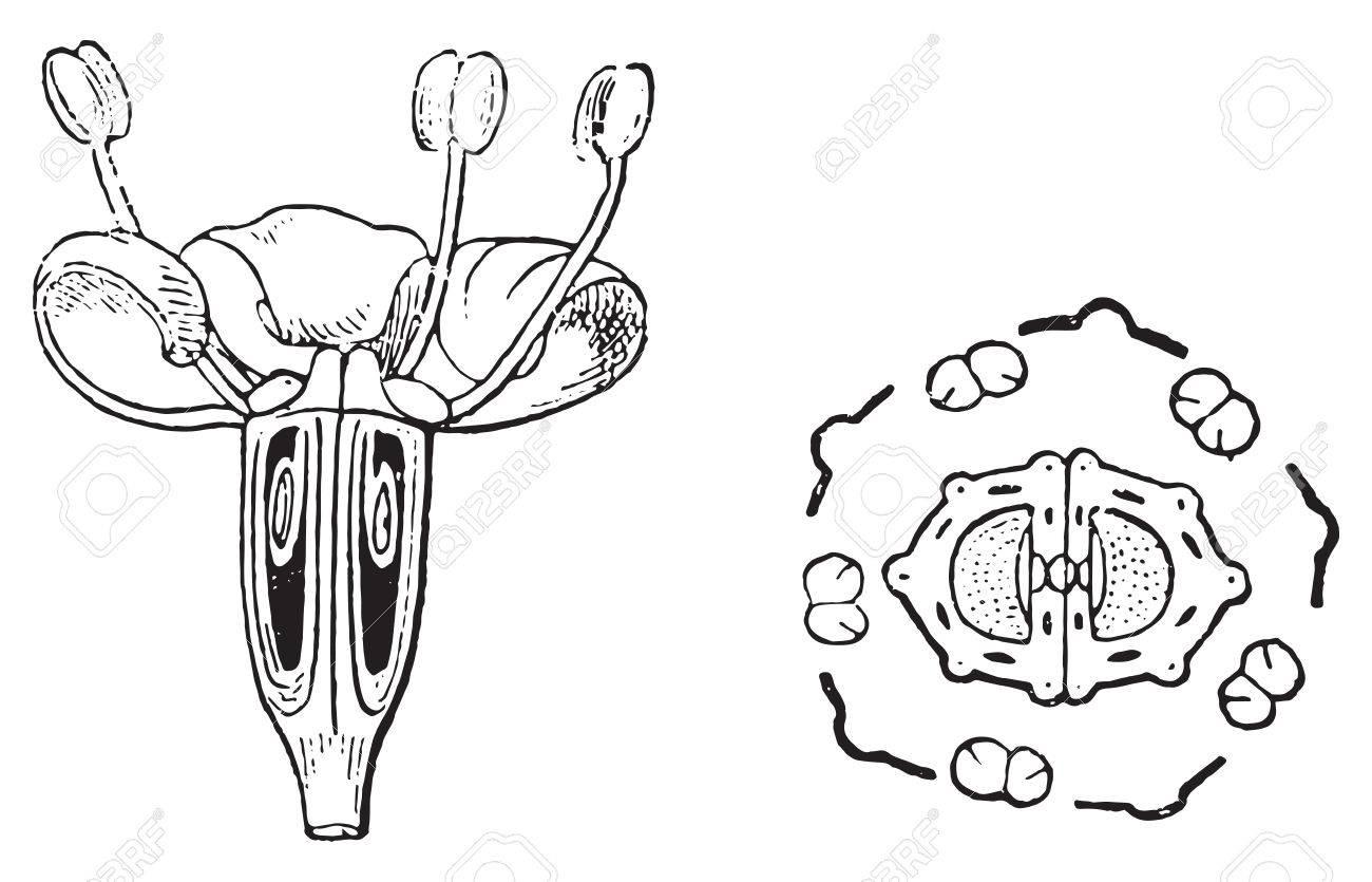 Apiaceae Ou Ombellifères, Fleur De Fenouil Et Le Diagramme De La ...